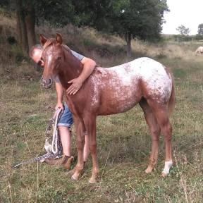 poulain à vendre pour équitation western