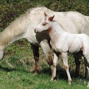 elevage chevaux en haute loire