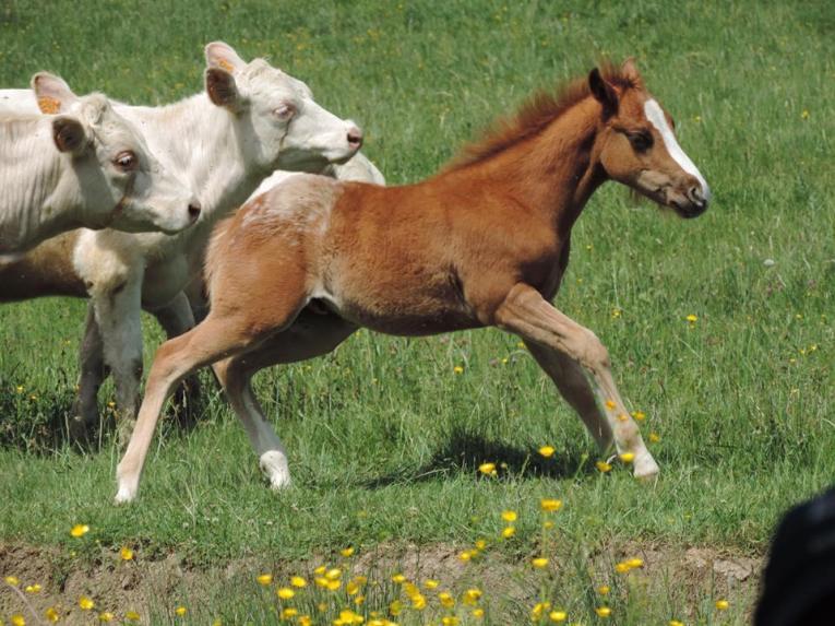 eleveur chevaux en lozere