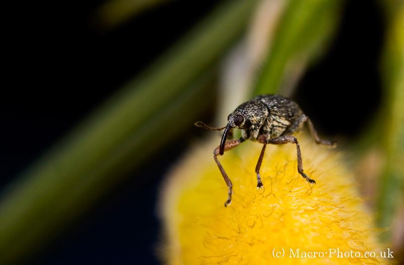 Weevil on Gorse 2