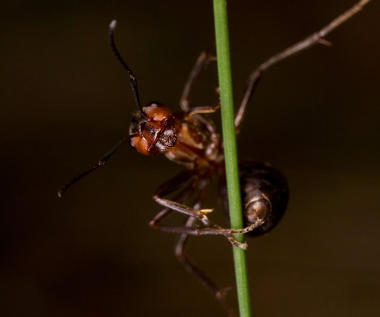 Break Dancing Wood Ant on Grass!