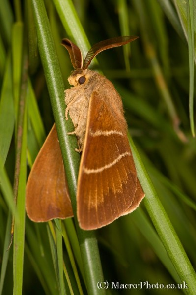 Fox Moth - Macrothylacia rubi.
