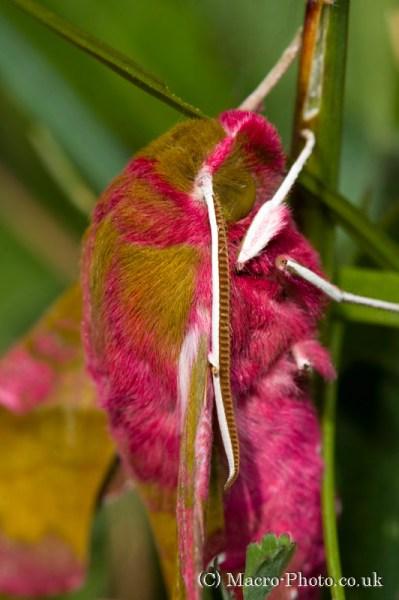 Small Elephant Hawk Moth - Deilephila porcellus