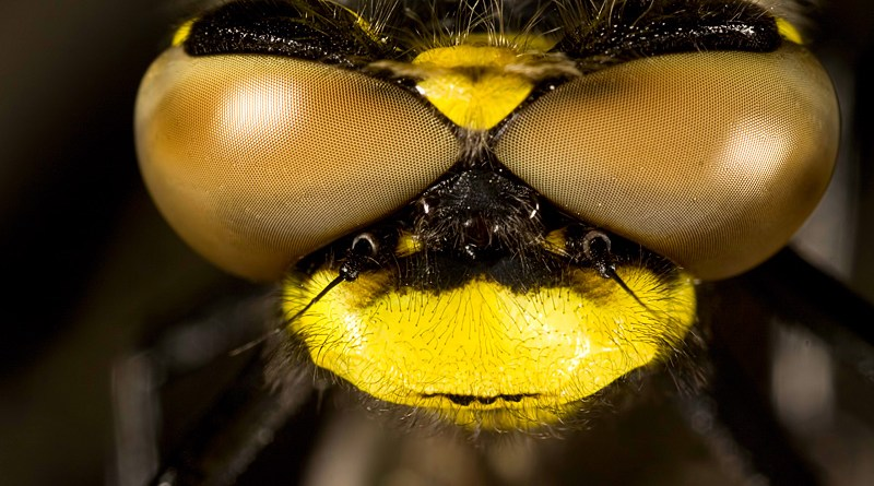 Cordulegaster boltonii - Golden-ringed Dragonfly Eyes