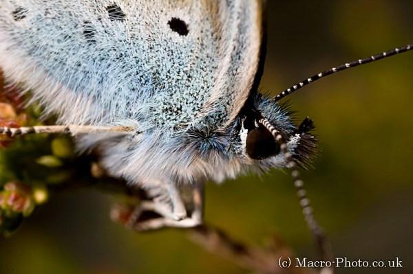 Silver Studded Blue - Plebeius argus