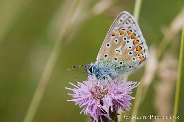 Common Blue - Polyommatus icarus