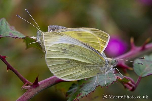 Large Whites - Pieris brassicae - Mating