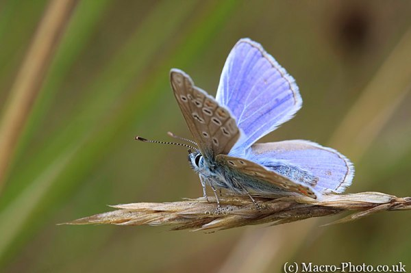 Common Blue - Polyommatus icarus - Male