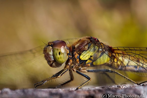 Sympetrum striolatum - Common Darter (Female) - Closeup