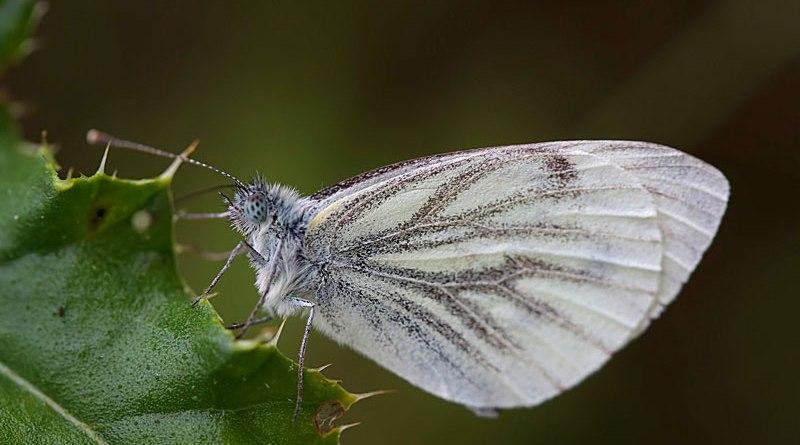 Green-veined White - Pieris napi - Underside Wings