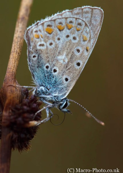A Stack of 2 F4 Shots of a Blue Butterfly