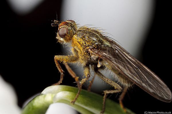 Fly on Snowdrop at 1.5x Magnification