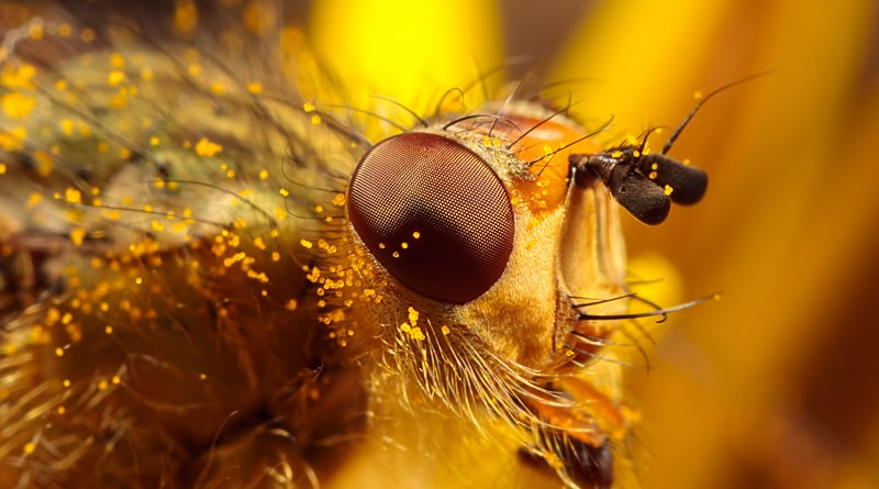 Common Yellow Dung Fly - Scathophaga stercoraria. Head Close up at 4x.
