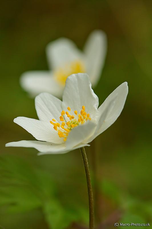 Pair of Wood Anemones - Anemone nemorosa.