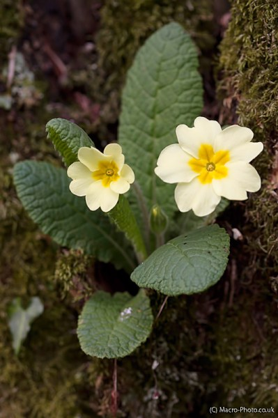 Primroses on Tree. Primula vulgaris.