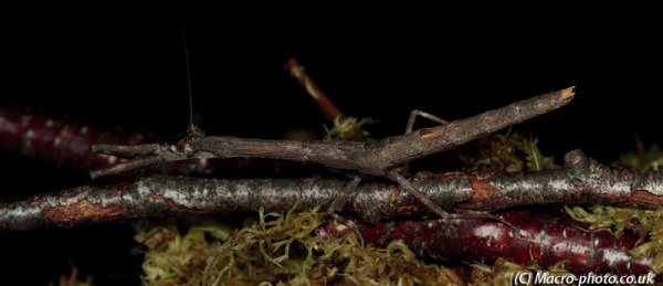 4 Shot Panorama of a Twig Mantis