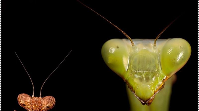 Mantis Montage