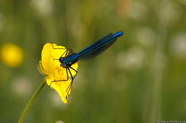 Demoiselle (Male)
