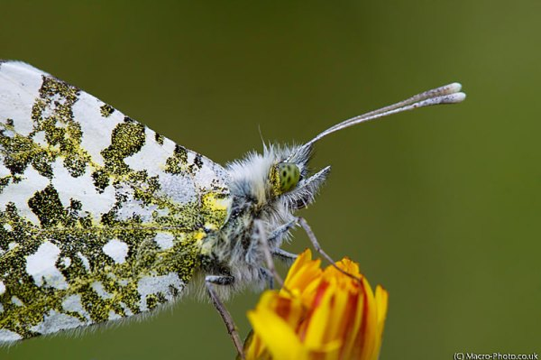 Female Orange Tip - Anthocharis cardamines at 1:1.