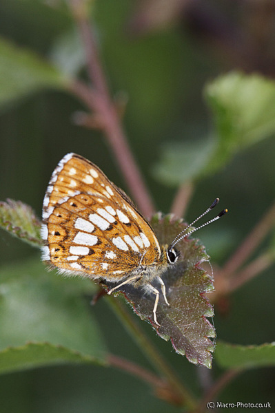 Duke of Burgundy - Hamearis lucina