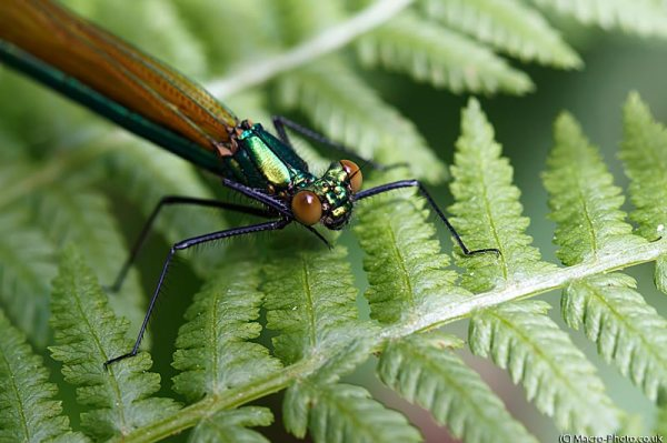 Demoiselle Close up