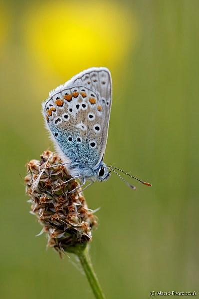 Common Blue on seed head.