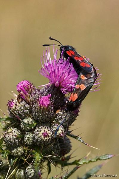 Six-Spot Burnet Moths - Zygaena filipendulae