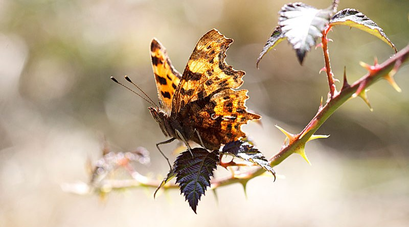 Backlit Comma - Polygonia c-album