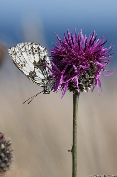 Female Marbled White - Melanargia galathea.
