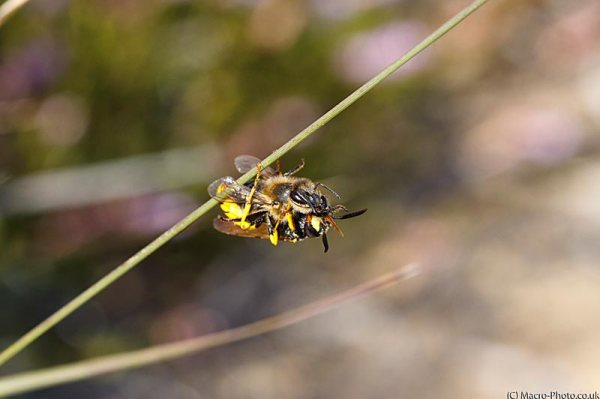 Wasp feeding on bee.