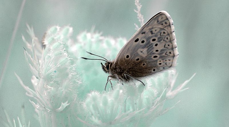 Chalkhill Blue (Lysandra coridon) on plant in infrared.