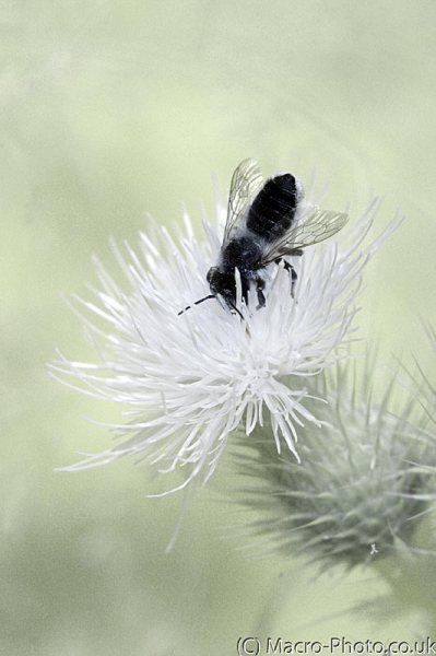 Infrared Bee on thistle
