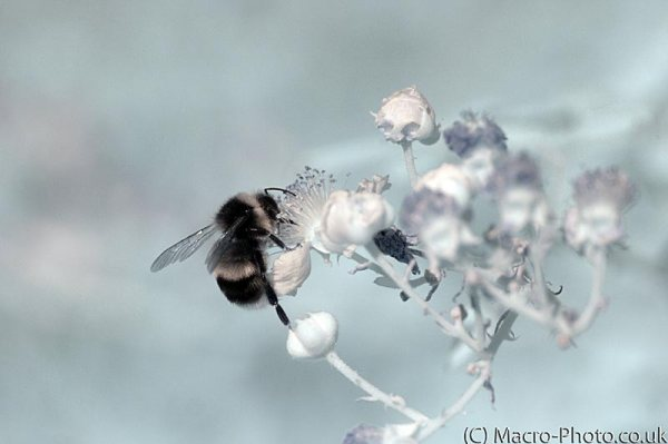 Infrared Bee on flowers