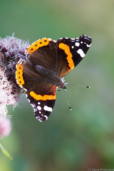 Red Admiral in portrait
