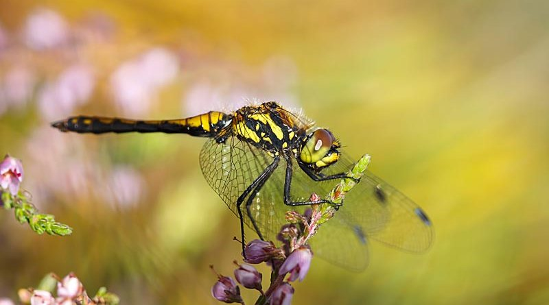 Immature Male Black Darter on Heather