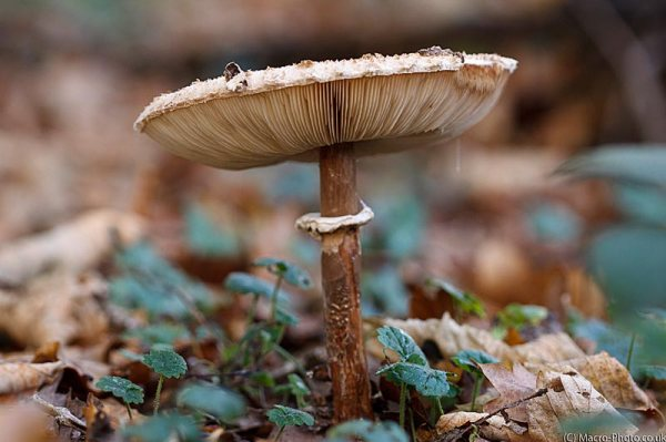 Parasol type mushroom