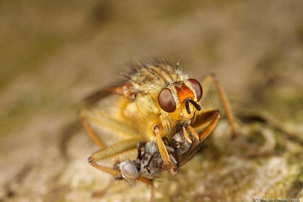 Yellow Coloured Dung Fly with Prey.