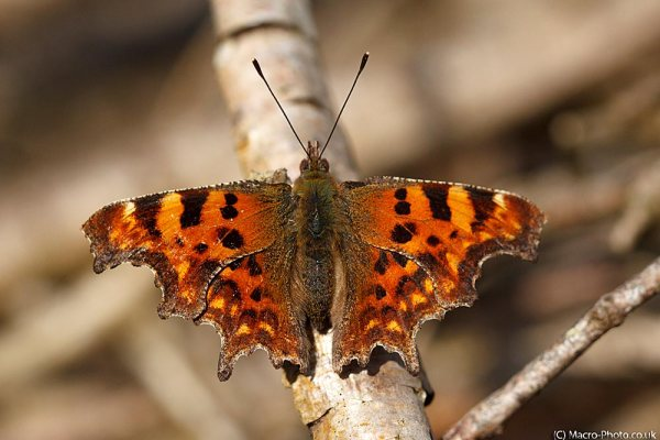 First Butterfly of 2012 - Comma.