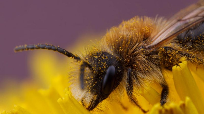 Solitary Bee on Flower