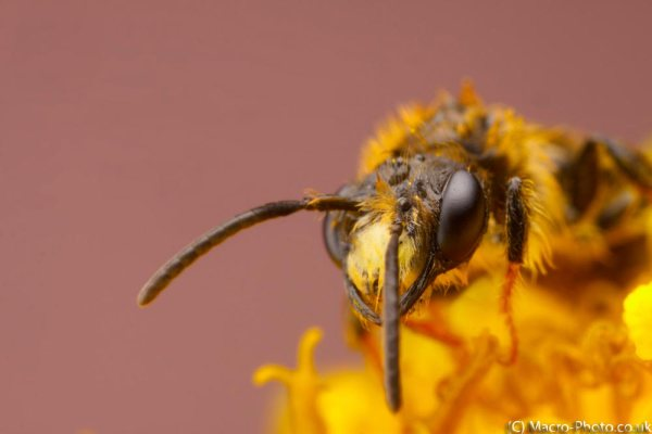 Solitary Bee looking out of flower (about 2x Mag).