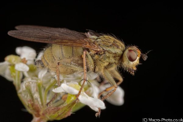 Dung fly on flower - about 2x Mag