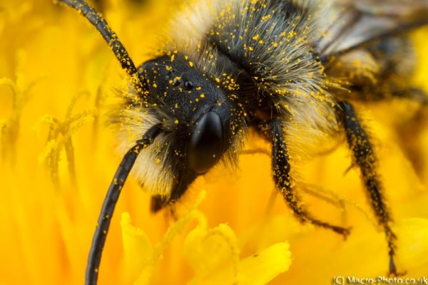 Solitary Mining Bee - Andrena cineraria (about 2.5x Magnification).