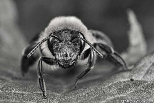 Bee on dock leaf (B&W).