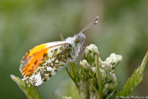 Male Orange Tip Butterfly.