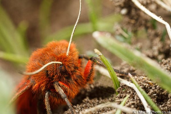 Ruby Tiger Moth on ants nest