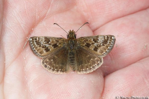 Dingy Skipper on my hand.