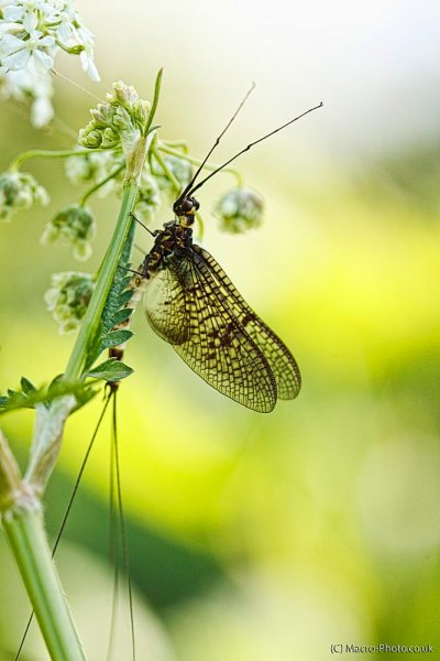 Mayfly by the Stour