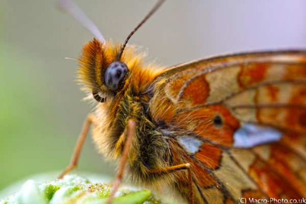 Pearl-bordered Fritillary (about 1x Mag).