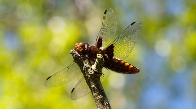 Broad-bodied Chaser Salutes!