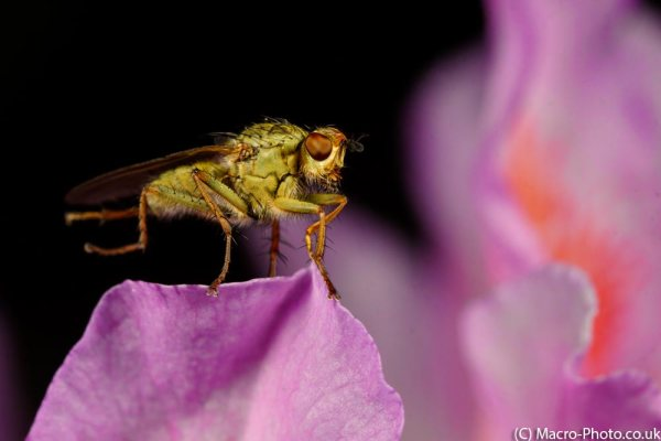 Dungfly on Rhododendron